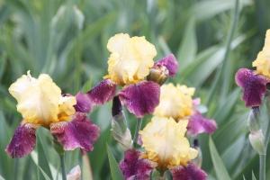 Bloomfest at Rainbow Iris Farm